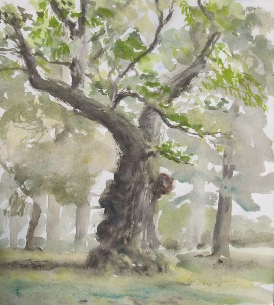 Oak in Lynn Park